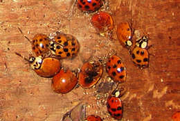 Multicolored Asian lady beetles that spent the winter in the attic will soon become active. (Photo courtesy Mike Raupp)