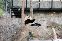 Giant panda Bao Bao enjoys some bamboo during her final hours at the National Zoo. She was set to depart for China on Tuesday, Feb. 21, 2017. (WTOP/Ginger Whitaker)