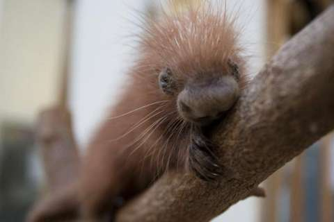 National Zoo announces porcupine birth