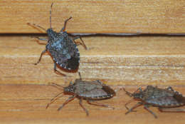 With warm weather stink bugs will soon emerge. Temperatures must drop to single digits to kill stink bugs in unprotected locations outdoors.  (Photo courtesy Mike Raupp)