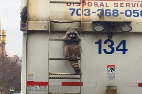 'Trash raccoon' rides garbage truck from Rosslyn to Falls Church
