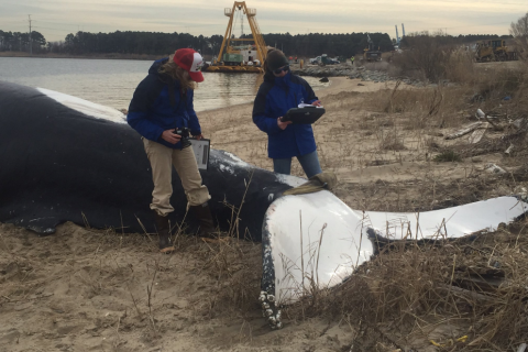 Dead humpback whale in Chesapeake had apparent propeller wound
