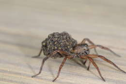 Spiders such as this female wolf spider (with babies on her back) are important predators of many landscape and garden pests. (Photo courtesy Mike Raupp)