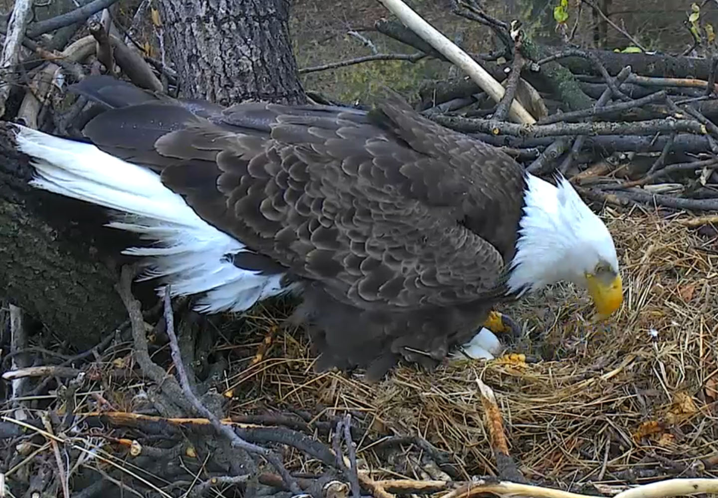 Tending to the nest as the hatching process begins March 28 in this screenshot from the DC Eagle Cam. (© 2017 American Eagle Foundation, DCEAGLECAM.ORG)