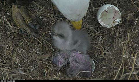 Second baby eagle hatches at National Arboretum