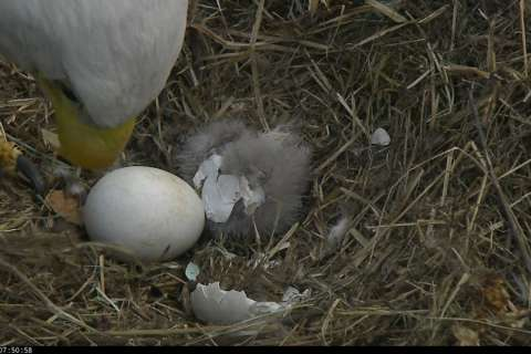 Watch Live: 1st DC eaglet hatches from egg, 2nd on the way