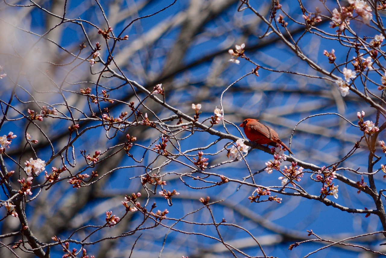 A cardinal sits on a cherry blossom branch in Kenwood. (WTOP/Dave Dildine)