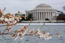 Cherry blossoms at the tidal basin. (WTOP/Dave Dildine)