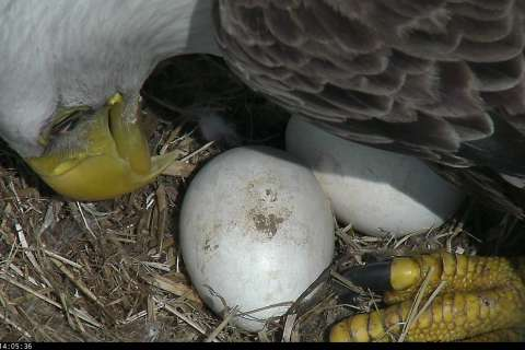 Eagle watch: DC bald eagles' eggs due to hatch soon