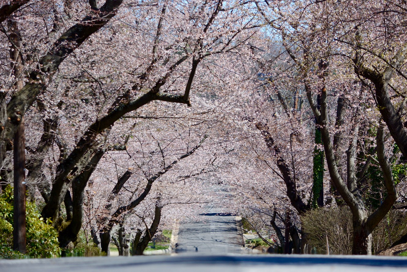 A tunnel of cherry blossoms in Bethesda, Maryland on Wednesday. (WTOP/Dave Dildine)