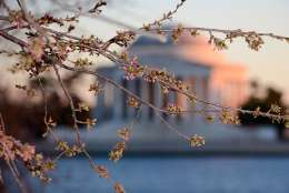 Cherry blossom florets from early March. (WTOP/Dave DIldine)