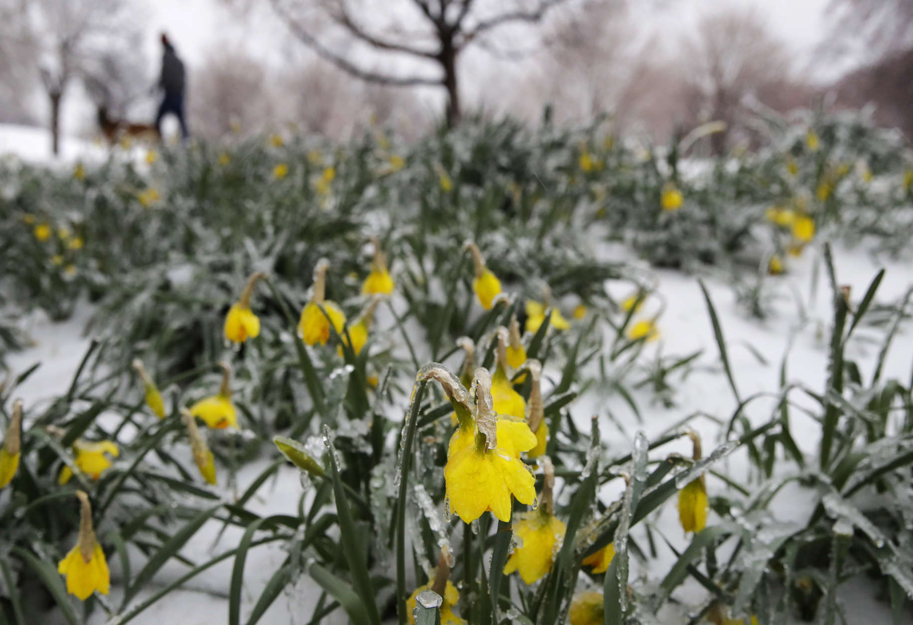 Flowers that had bloomed in recent weeks are covered in ice in Baltimore's Patterson Park as a winter storm moves through the region, Tuesday, March 14, 2017. (AP Photo/Patrick Semansky)