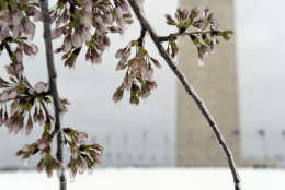 Washington's famed cherry blossoms were covered in ice during a late winter storm in Washington, Tuesday, March 14, 2017. The National Park Service was concerned about the impact of cold weather on the blossoms. (AP Photo/Susan Walsh)