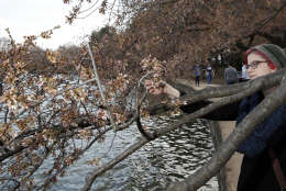 Emily Watson, from Boston, looks at the status of the cherry blossoms around the Tidal Basin, Saturday, March 18, 2017, in Washington. (AP Photo/Alex Brandon)