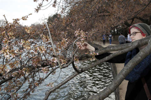 Cold snap damages cherry blossoms but doesn't deter tourists