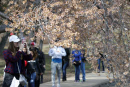 People walk around the Tidal Basin under the cherry trees, Saturday, March 18, 2017, in Washington. (AP Photo/Alex Brandon, file)