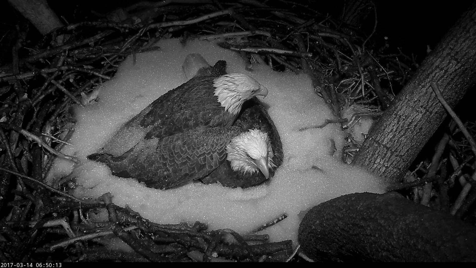 As snow fell during the night, Mr. President joined The First Lady to add an extra layer of warmth inside their nest at the National Arboretum. (© 2017 American Eagle Foundation, DCEAGLECAM.ORG)