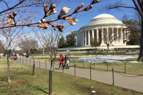 Cold destroys some cherry blossoms, peak bloom delayed