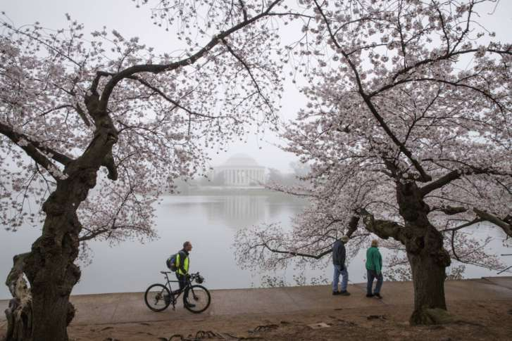 National Park Service: DCu0027s Cherry Trees Reached Peak Bloom