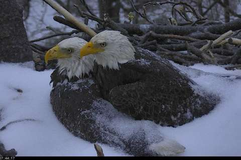 Heartwarming: DC bald eagle pair shelters eggs from storm
