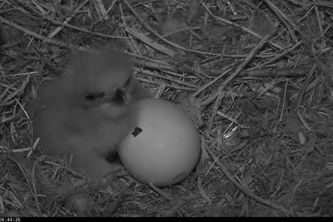 Watch: 2nd DC eagle egg hatching soon
