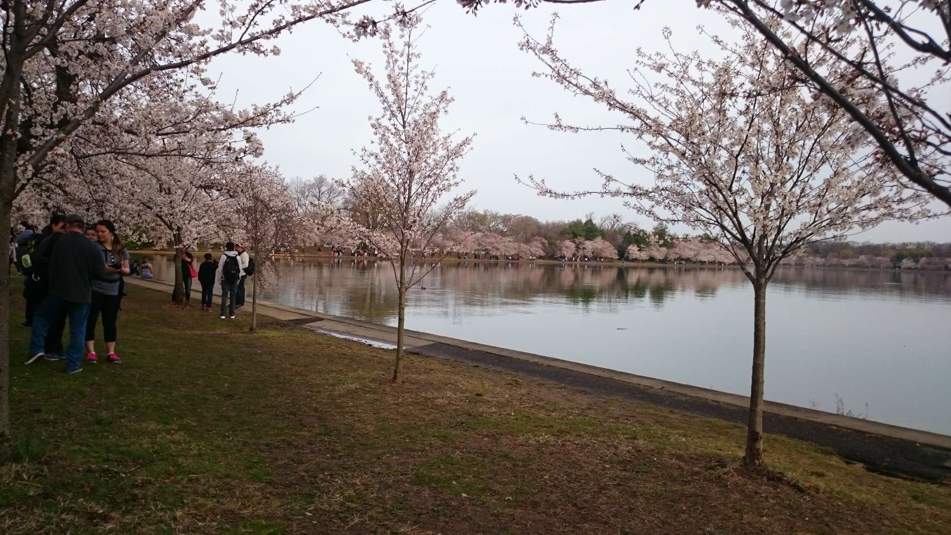 Visitors stroll among the cherry blossoms, which are now at peak bloom. (WTOP/Dennis Foley)
