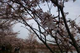 D.C.'s cherry blossom trees line the city's Tidal Basin along the Potomac River. This is the most popular viewing spot for the blossoms — but it is not the only spot. (WTOP/Dennis Foley)