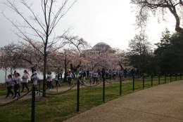 The first Cherry Blossom Festival was held in 1927, and has since expanded. Now, the celebration spans four weekends in March and April, and attracts more than 1.5 million people from all over the world. (WTOP/Dennis Foley)