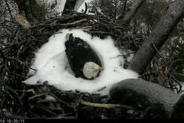 Screenshot from the American Eagle Foundation's eagle camera at the National Arboretum on the morning of March 14, 2017. Bald eagles The First Lady and Mr. President spent the night protecting their eggs. (© 2017 American Eagle Foundation, DCEAGLECAM.ORG)
