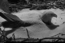 The First Lady kept watch over her eggs overnight from March 13 to March 14, 2017 at the National Arboretum as a wintry mix moved through the D.C. region.  (© 2017 American Eagle Foundation, DCEAGLECAM.ORG)