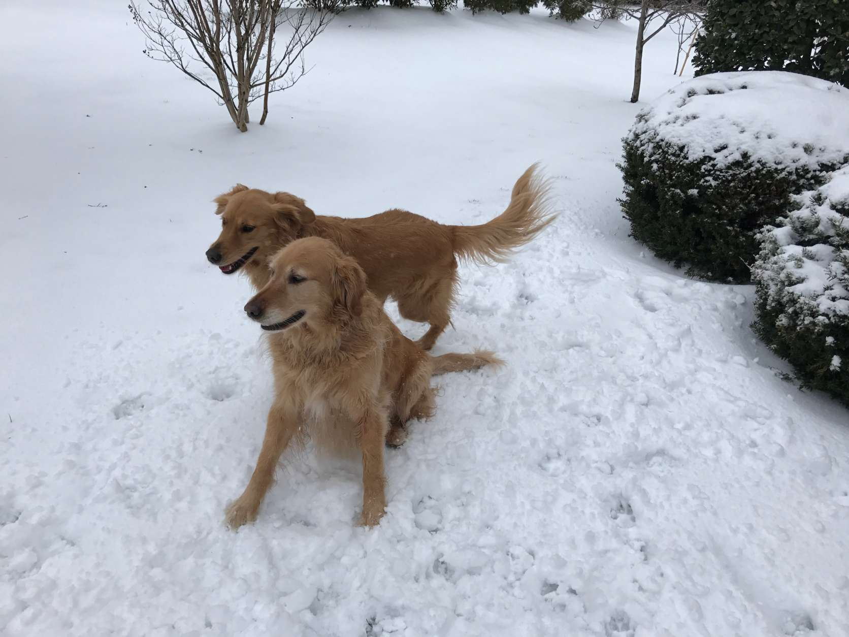 Two golden beauties enjoy the snow on this chilly Tuesday morning. (WTOP/Mike Moss)