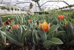 """In this Wednesday, March 1, 2017, photo, grower Regina McKee works with tulips in a greenhouse growing plants for the Philadelphia Flower Show at Meadowbrook Farm, in Jenkintown, Pa. The Philadelphia Flower Show is teaming up with experts from the Netherlands to celebrate the beauty and ingenuity of Dutch culture. The theme of this year's floral festival is """"Holland: Flowering the World"""" and it runs March 11 through March 19. Last year, the show attracted about 255,000 people. (AP Photo/Jacqueline Larma)"""