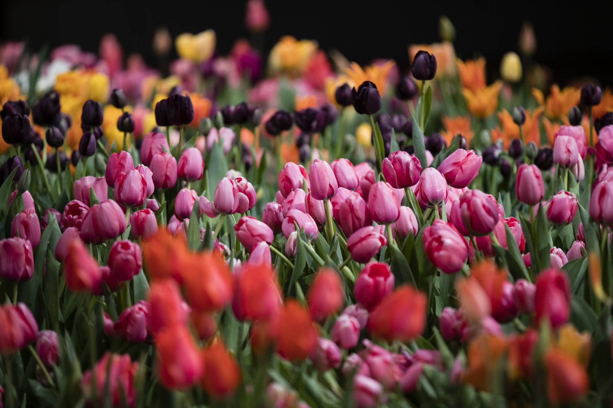 Philadelphia Flower Show gives visitors a taste of Holland
