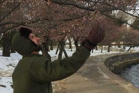 Low temperatures damage DC cherry blossoms