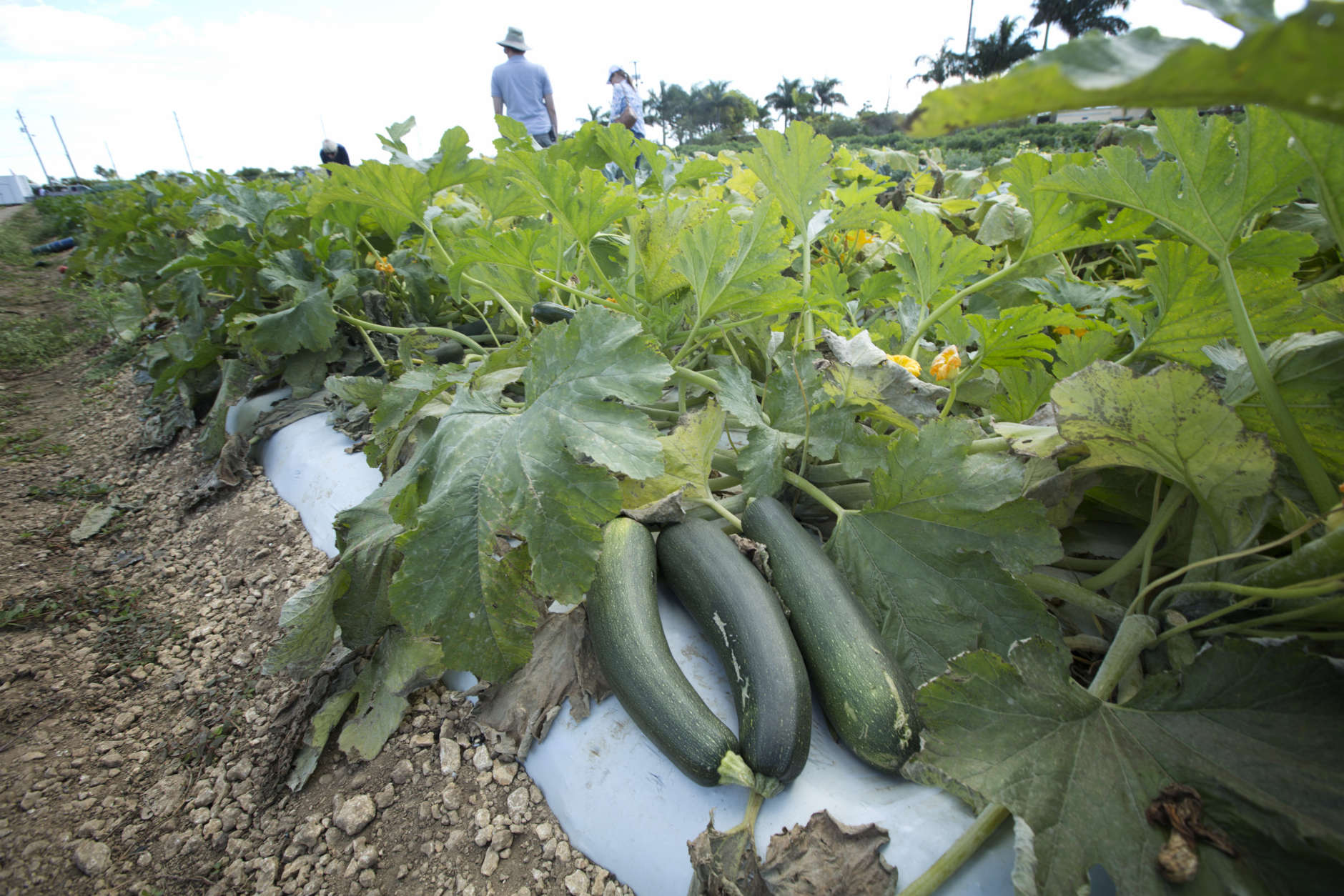 Large zucchini wait to be picked at he u-pick field at the Curbside Market in Homestead, Fla. Sunday, Feb. 3, 2013. The farm has been in operation for over 42 years. The growing season last from Dec. to May, for squash, tomatoes and strawberries. (AP Photo/J Pat Carter)