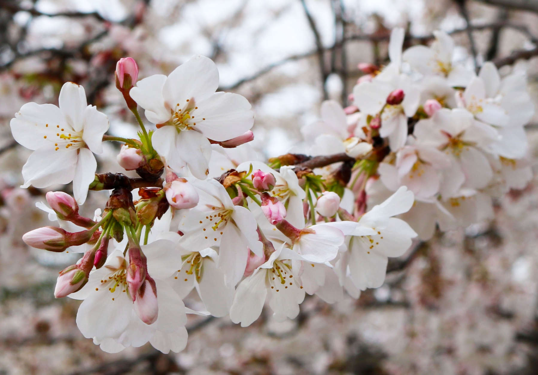 On March 26, 1912, 3,020 cherry trees arrived in D.C. and were planted along the Tidal Basin. The blooming beauties have pleased many crowds since then. (WTOP/Hanna Choi)