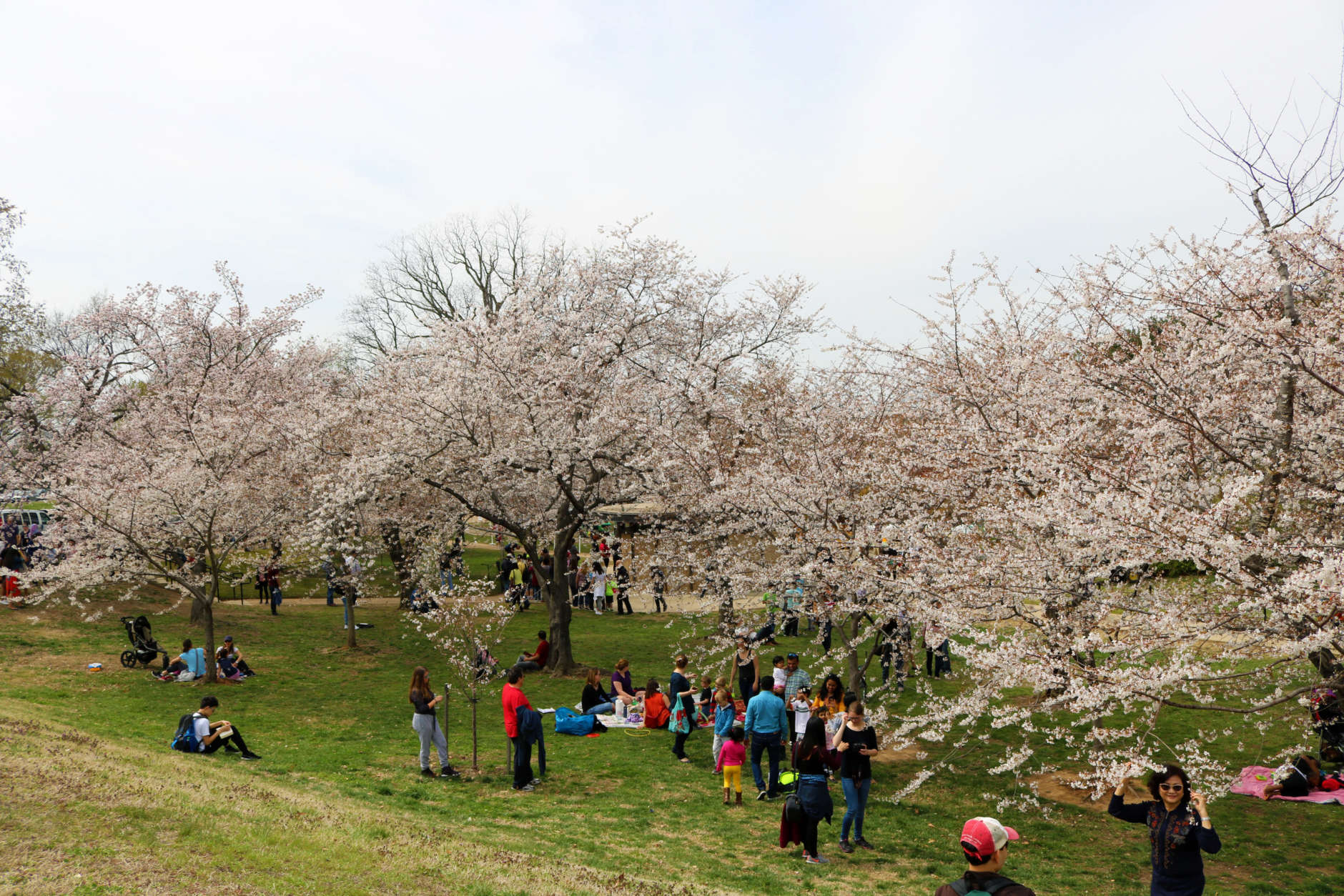 People from all over visited D.C. to view the yearly pink hued spectacle. (WTOP/Hanna Choi)