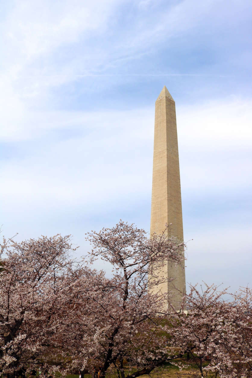 The Washington Monument serves as the backdrop to the blooming cherry blossoms. (WTOP/Hanna Choi)