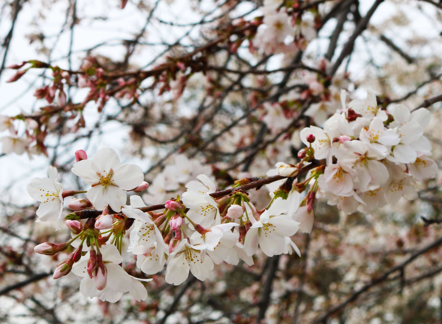 Around 70 percent of the trees around the Tidal Basin are in bloom the weekend of March 25. (WTOP/Hanna Choi)
