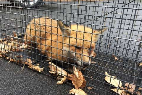 Fox captured, euthanized after biting woman, attacking house cat in Va.
