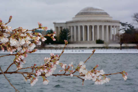 Plunging temperatures threaten delicate DC cherry blossoms