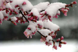 A late-season snowfall coats blooming cherry trees in Northwest Washington on March 25, 2014.  Several late snowstorms produced more than a foot of snow that month, leading to one of the snowiest Marches in more than 50 years. The season culminated with a light snowfall on March 25, dusting budding cherry trees near the Tidal Basin. Snow is in the forecast again this weekend. (WTOP/Dave Dildine)