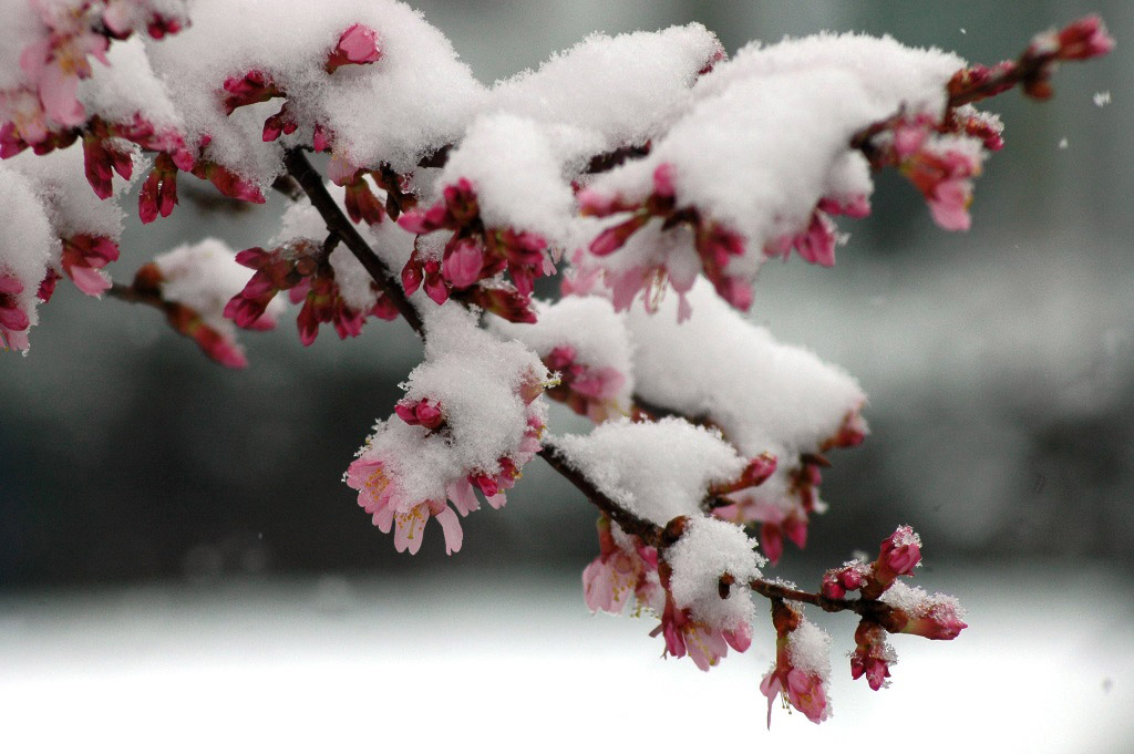 A late-season snowfall coats blooming cherry trees in Northwest Washington in March 2014. More than a foot of snow fell that month, leading to one of the snowiest Marches in more than 50 years. Snow is in the forecast again this weekend. (WTOP/Dave Dildine)