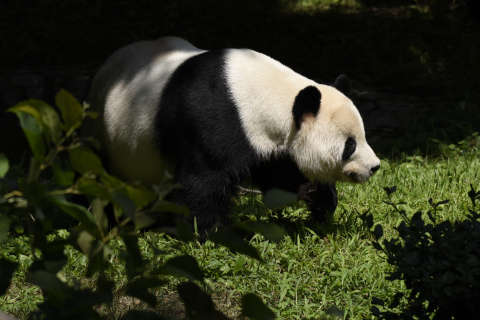 Love is in the air: Giant panda breeding season almost here