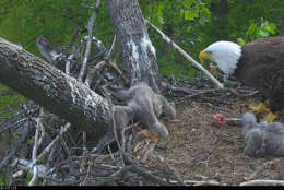 """The eagle chick became tangled in its nest this week. """"(C) 2017 American Eagle Foundation, www.eagles.org"""""""