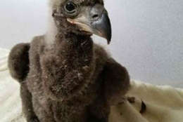 The eaglet got its leg stuck in nest sticks Thursday was rescued and checked out by a vet and cleared to head back to the nest. (C) 2017 American Eagle Foundation, www.eagles.org