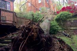 This large tree toppled onto a home on Parkwood Drive in Montgomery County, Md. on Friday, April 21, 2017. No injuries were reported, but there was some moderate damage, according to Montgomery County Fire & Rescue spokesman Pete Piringer. (Courtesy Pete Piringer/MCFRS via Twitter)