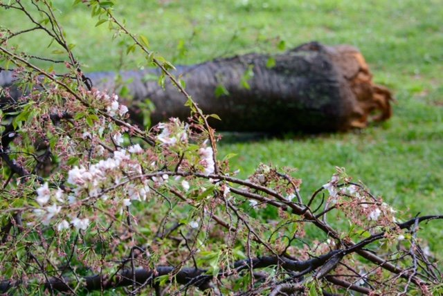 A toppled cherry tree on the Tidal Basin Tuesday, April 6, 2017. (WTOP/Dave Dildine)