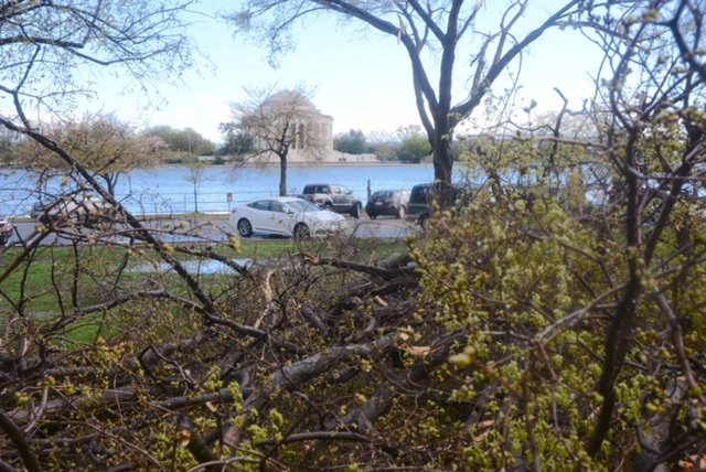 Several trees near Tidal Basin, including some cherry trees, downed by high winds. (WTOP/Dave Dildine)