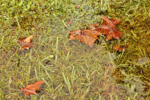 No grass can thrive in poor drainage